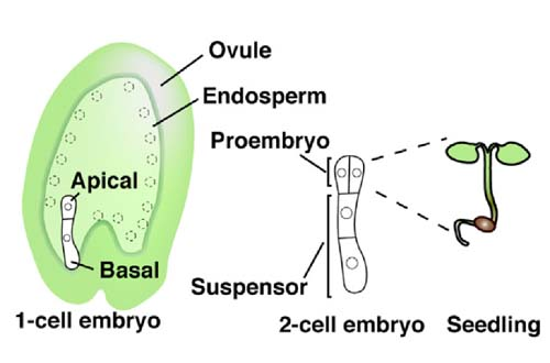Schematic representation of an Arabidopsis flower and embryogenesis