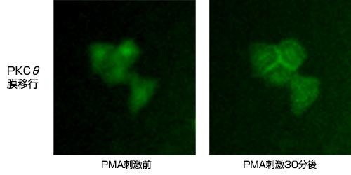 図3. PMA刺激後のPKC局在変化観察