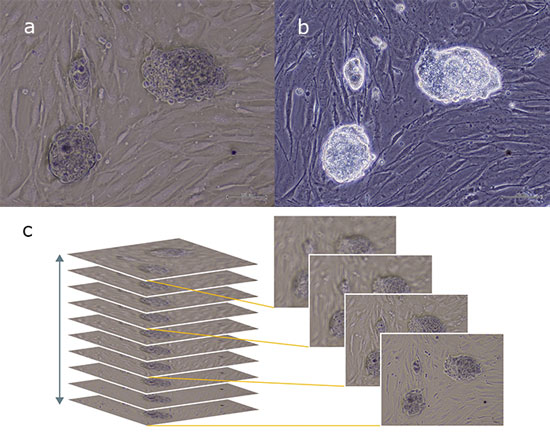 Figure 3: Mouse iPS Cell Colonies Documented with InVersion Contrast (IVC)