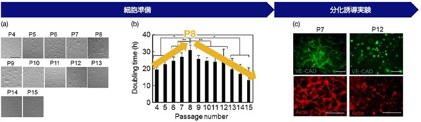 図3 (a)継代数ごとの細胞形態、 (b)継代数と増殖速度(Doubling time)の関係、(c)HUVECの血管形成能と継代数
