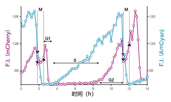 图3:表达Fucci(CA)2.1的单细胞细胞核荧光强度(F.I.)的时间变化曲线