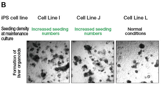 (B) Showing the formation of organoids when differentiation induction is performed after maintenance culture of cell line I and J showing differentiation resistance under the condition of increasing the number of seeds. For comparison, the organoids when the L line, which has been confirmed to have differentiating ability, was maintained and cultured under normal conditions and induced to differentiate, are also shown.