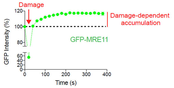Figure  2: Damage-dependent accumulation of MRE11 at the DNA break site