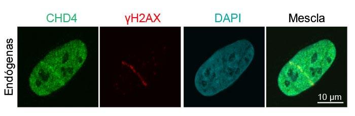 Figura3: Recrutamento de proteínas endógenas para reparo de danos no DNA para quebras de hélice de DNA