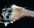 Canine Hookworm