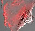 Human Glioblastoma Epithelial Cells with mCherry Actin