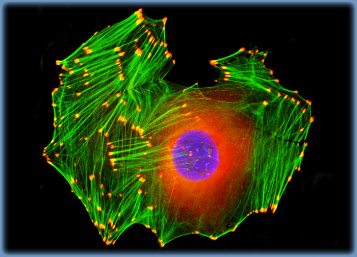 Embryonic Swiss Mouse Fibroblast Cells (3T3)