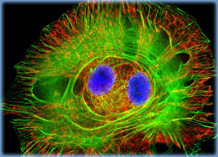 Normal African Green Monkey Kidney Fibroblast Cells (CV-1 Line)
