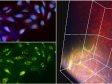 Seeing Red: Using Near-Infrared Solutions to Expand the Possibilities of Confocal Microscopy